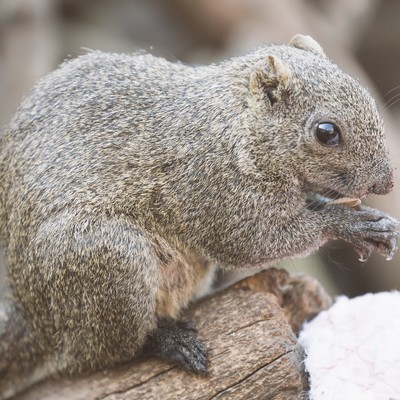 「ヒマワリの種をかじるタイワンリス」の写真素材