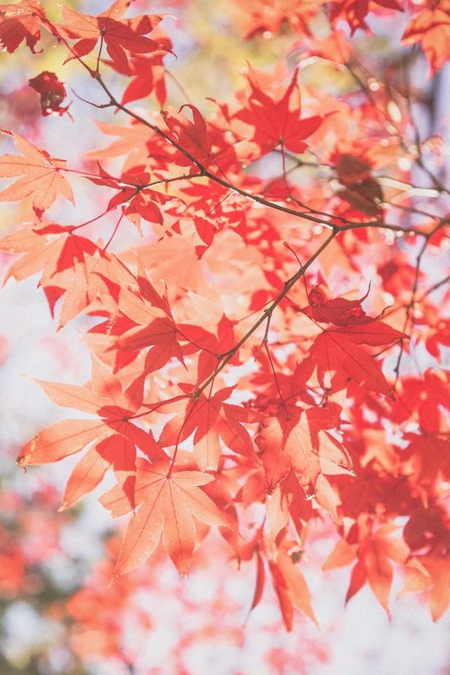すがすがしさのある紅葉の写真