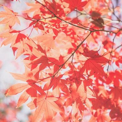 「すがすがしさのある紅葉」の写真素材