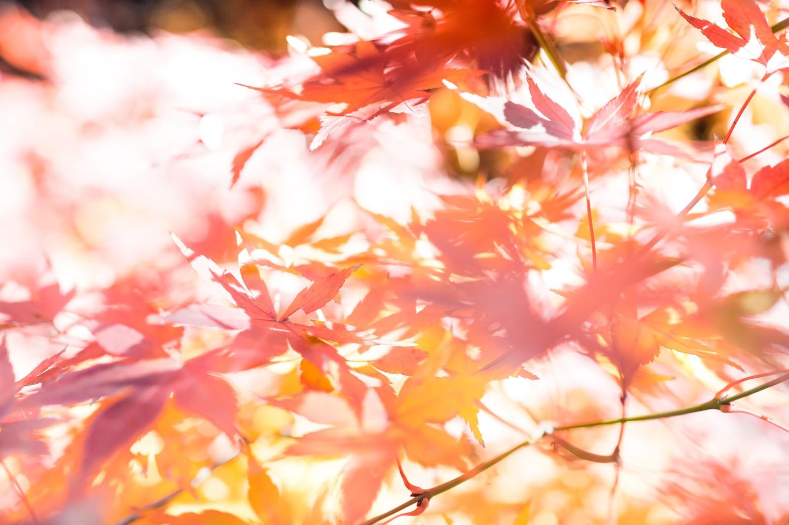 「木漏れ日と紅葉木漏れ日と紅葉」のフリー写真素材を拡大