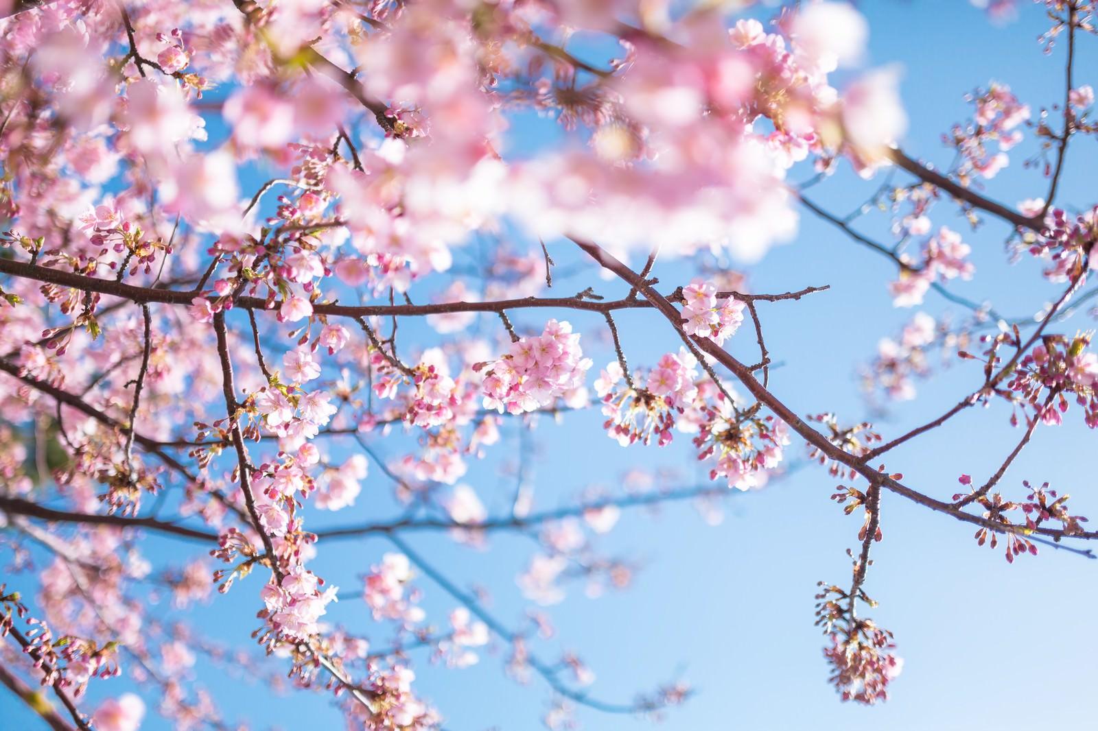 「青く鮮やかな空と桜青く鮮やかな空と桜」のフリー写真素材を拡大