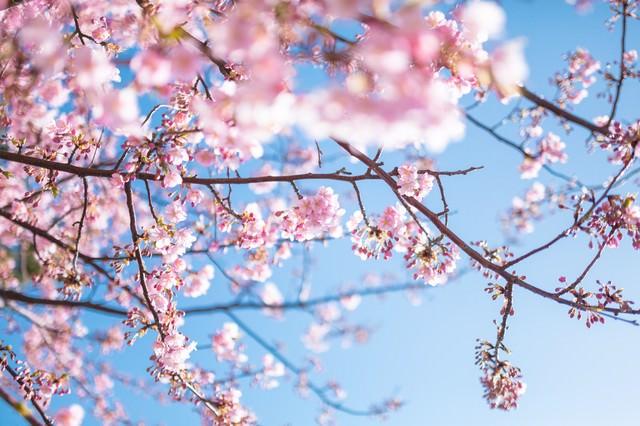 青く鮮やかな空と桜の写真