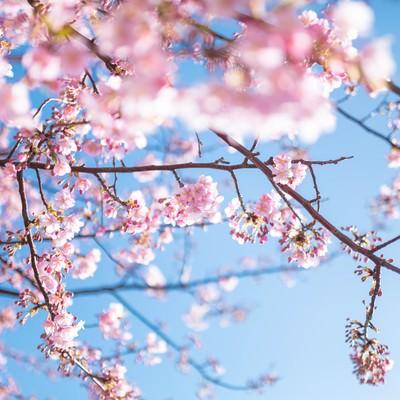 「青く鮮やかな空と桜」の写真素材