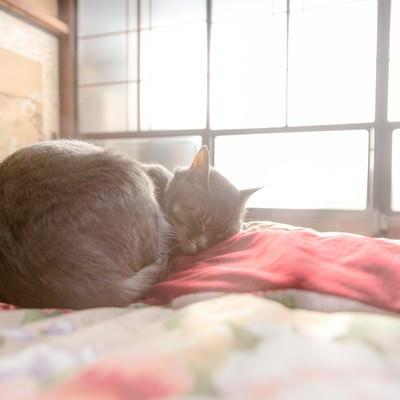 「ひなたぼっこしながら布団の上でスヤスヤ眠る猫」の写真素材