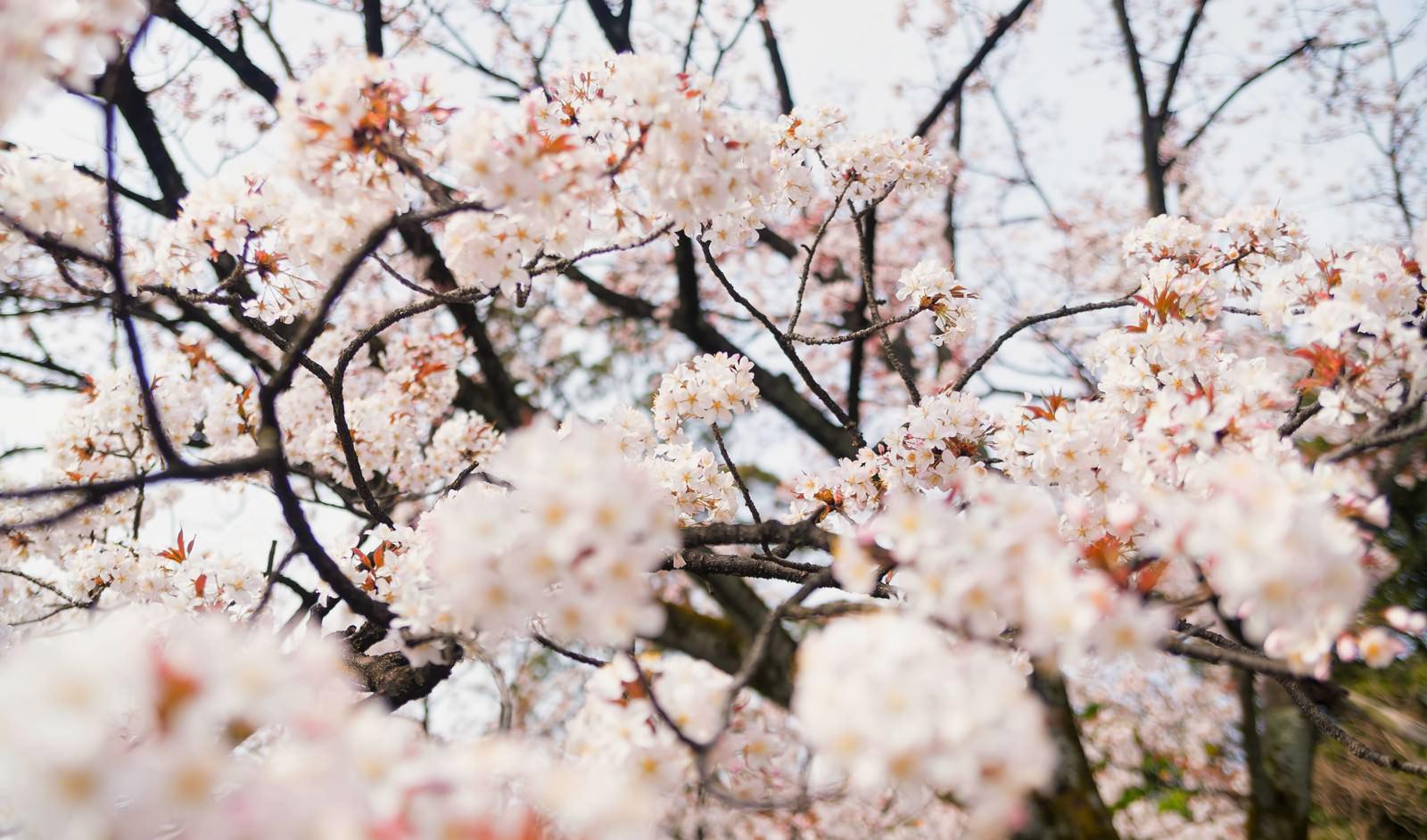 「奥行きのある桜の花」の写真