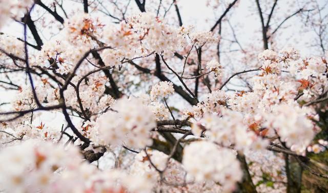 奥行きのある桜の花の写真
