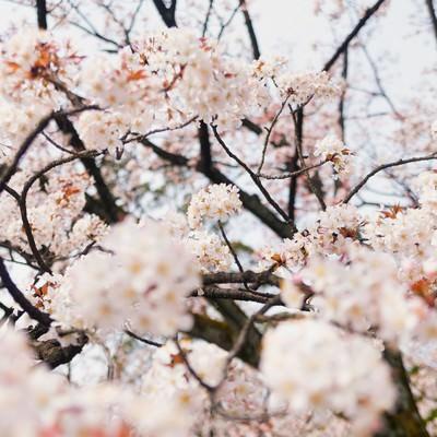 「奥行きのある桜の花」の写真素材