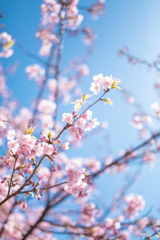 青く透き通る空とピンク色の桜の写真