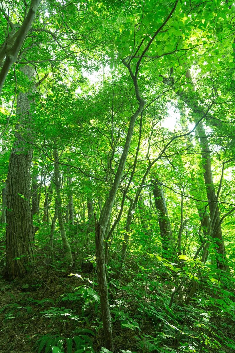 「新緑の森新緑の森」のフリー写真素材を拡大