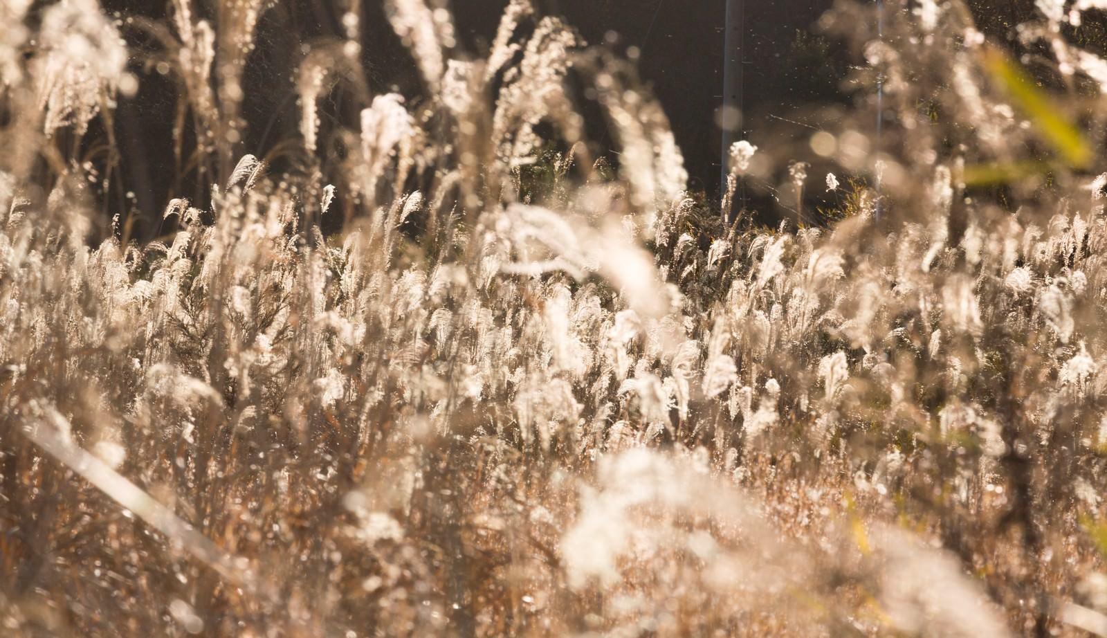 「金色のススキ | 写真の無料素材・フリー素材 - ぱくたそ」の写真
