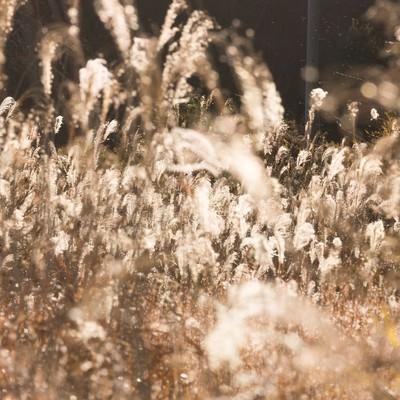 「金色のススキ」の写真素材