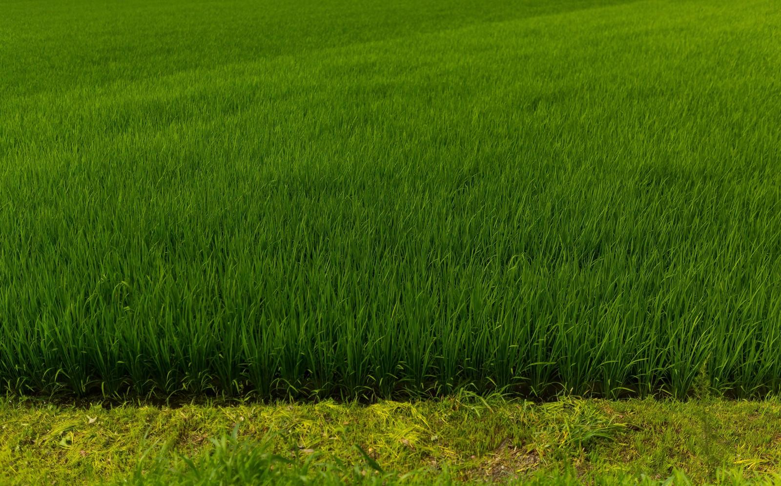 「夏の田んぼ」の写真