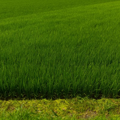 「夏の田んぼ」の写真素材