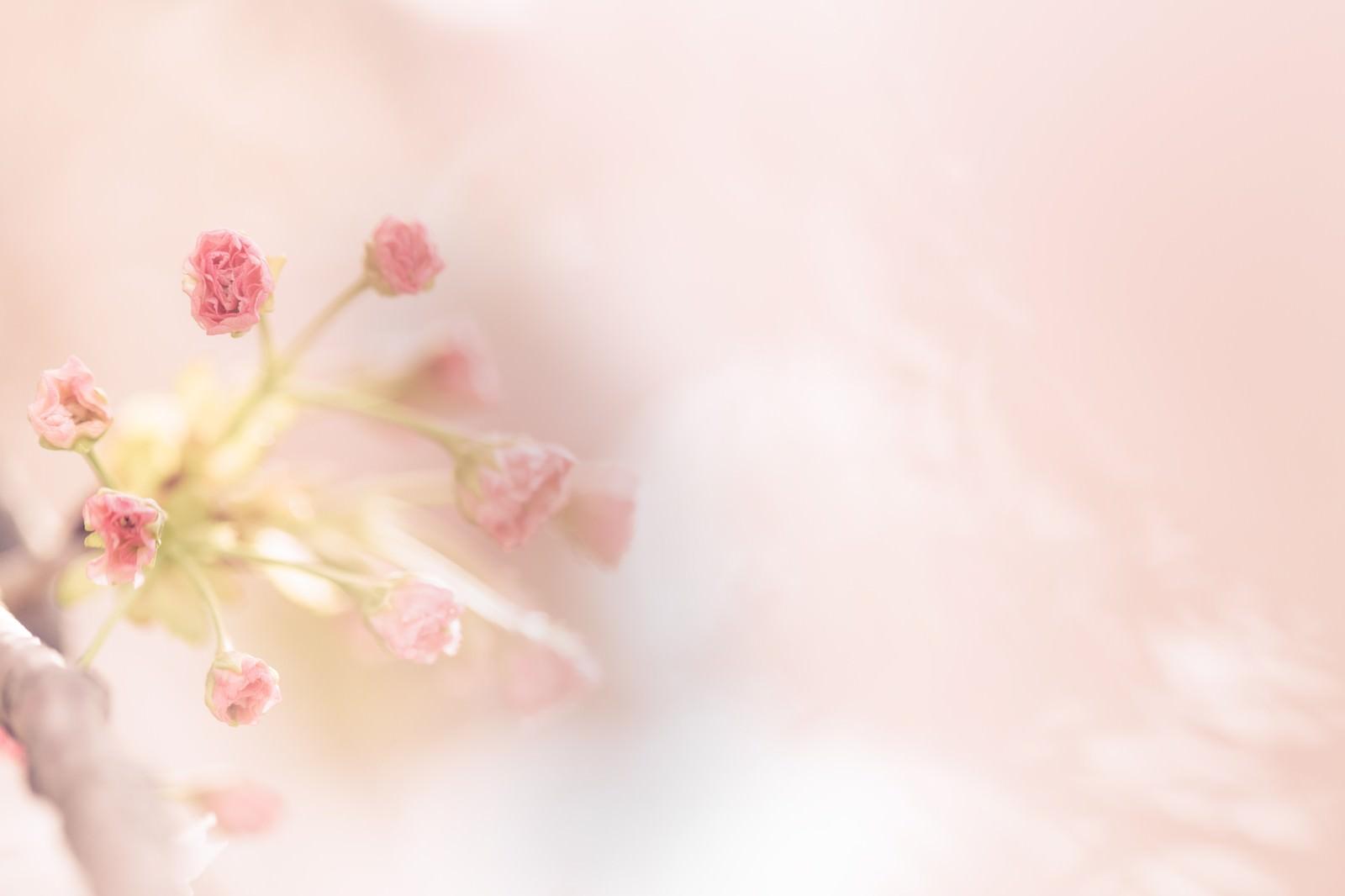 「春到来-桜のつぼみから花が咲く-」の写真