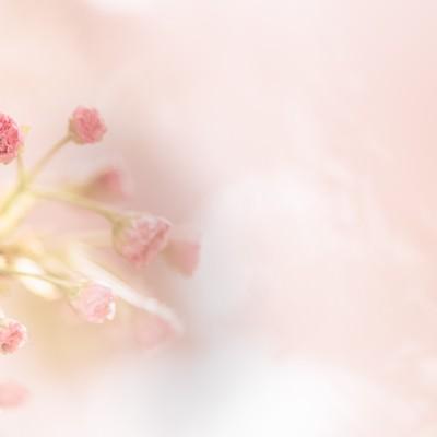 春到来-桜のつぼみから花が咲く-の写真