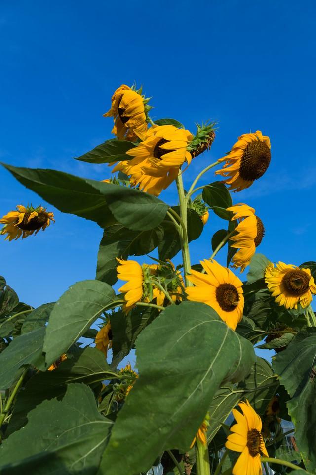 暑すぎてへなへなの向日葵の写真