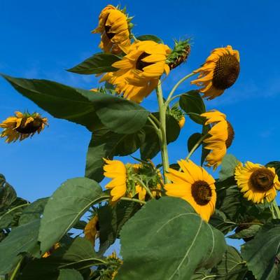 「暑すぎてへなへなの向日葵」の写真素材