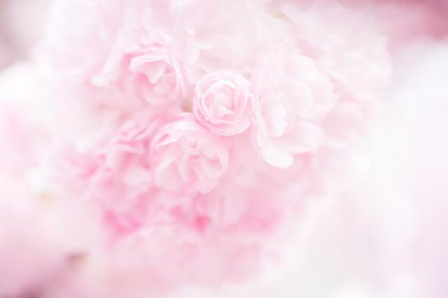 桜(紅時雨)の写真