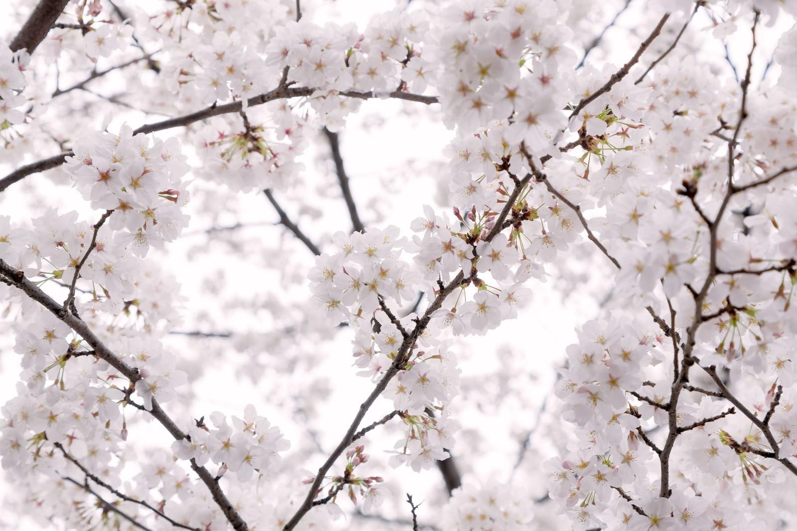 「もう、桜の咲く季節もう、桜の咲く季節」のフリー写真素材を拡大