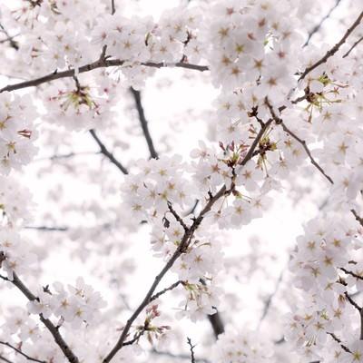 「もう、桜の咲く季節」の写真素材
