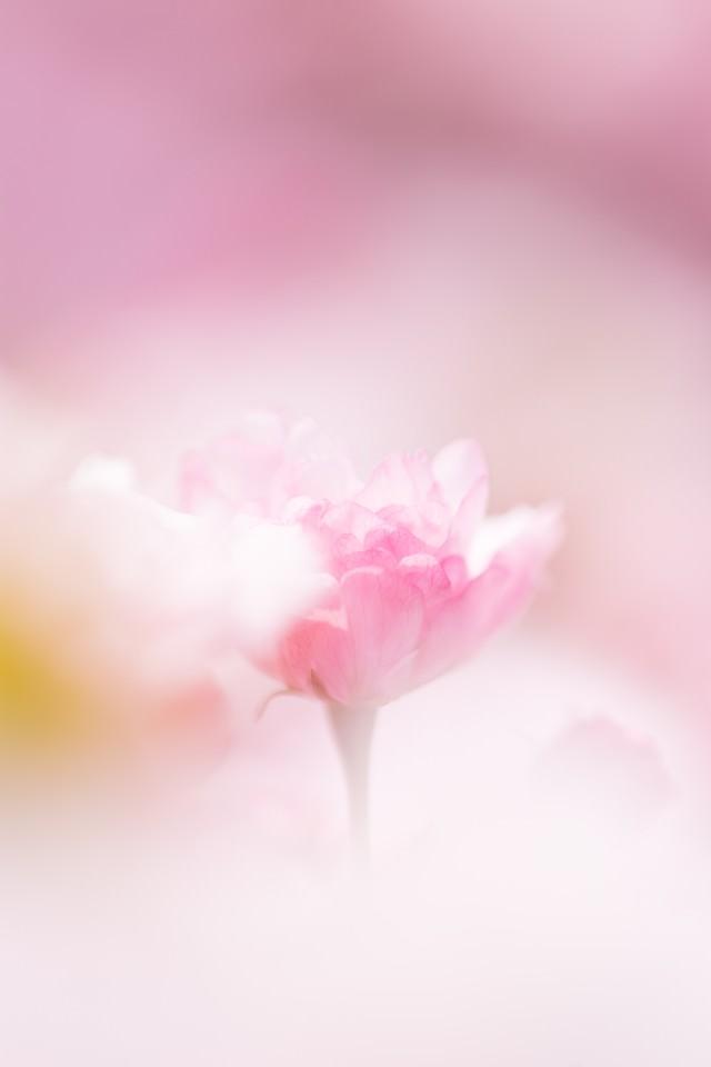 春につつまれる(桜)の写真