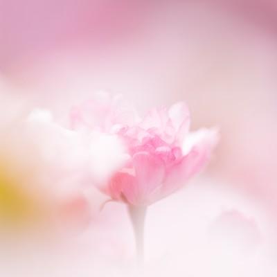 「春につつまれる(桜)」の写真素材