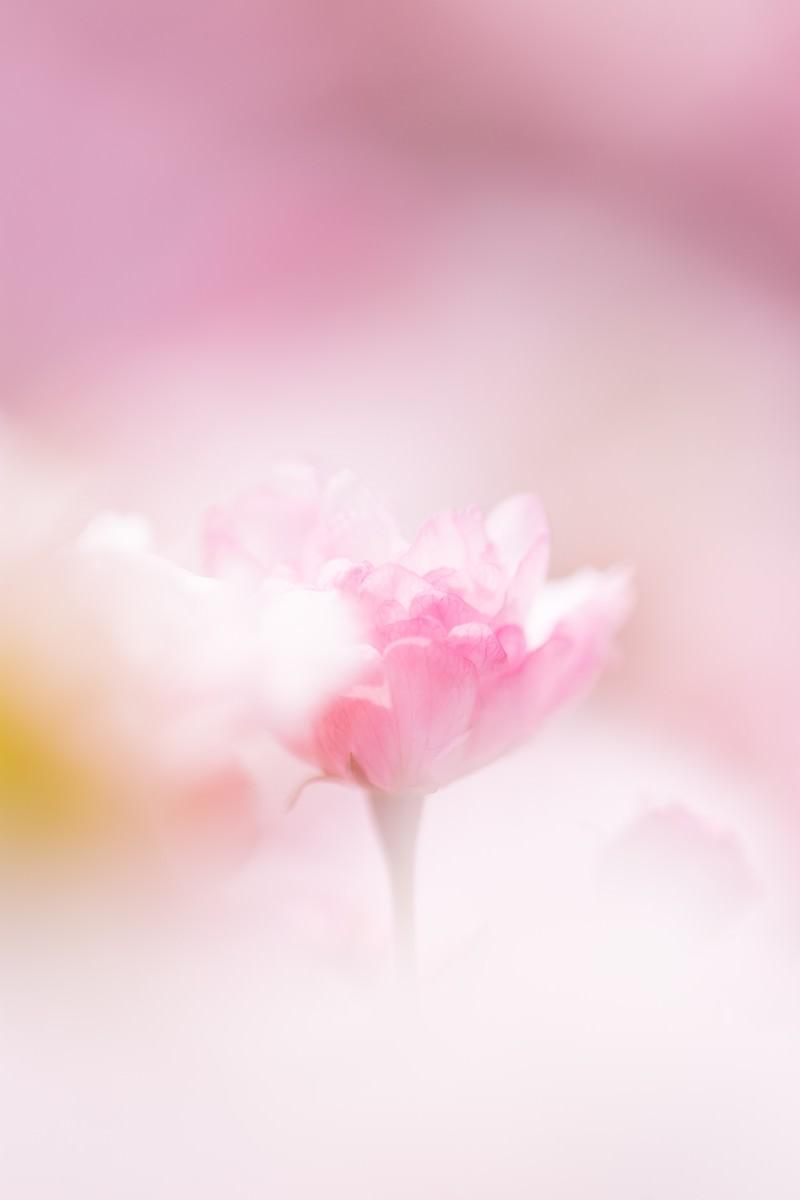 「春につつまれる(桜) | 写真の無料素材・フリー素材 - ぱくたそ」の写真
