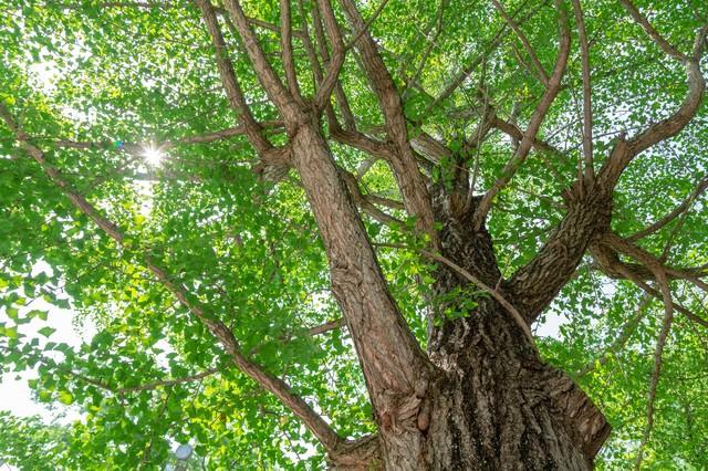 緑色の銀杏の木の写真