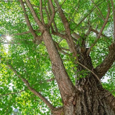 「緑色の銀杏の木」の写真素材