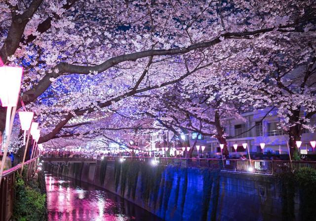 目黒川の桜のアーチ(夜桜)の写真