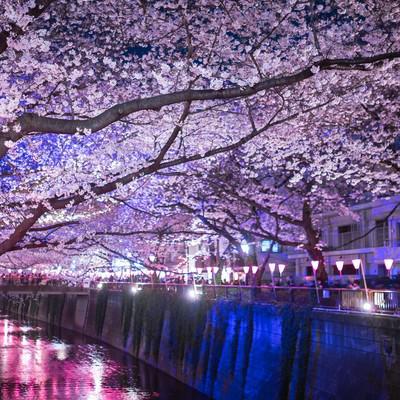 「目黒川の桜のアーチ(夜桜)」の写真素材