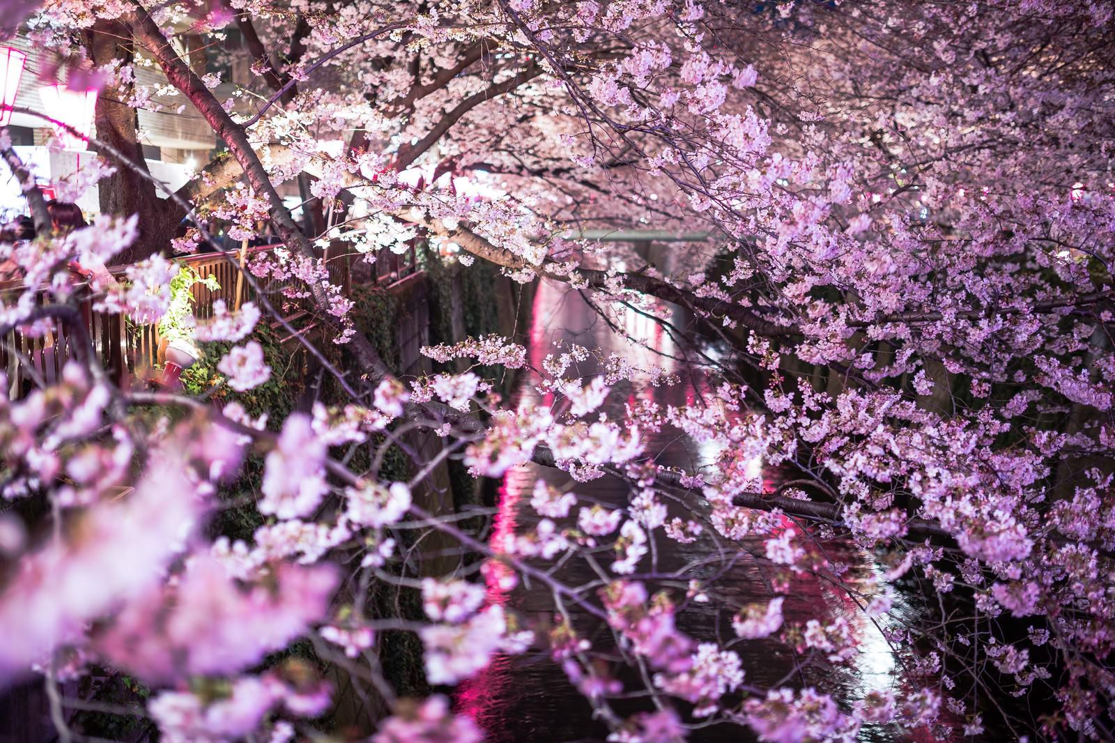 「目黒川と咲き誇る夜桜」の写真