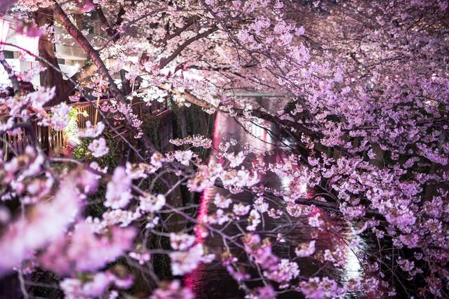目黒川と咲き誇る夜桜の写真