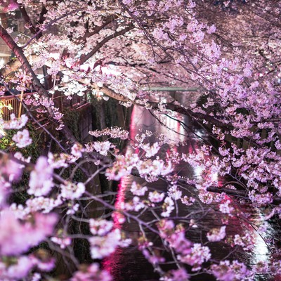 「目黒川と咲き誇る夜桜」の写真素材