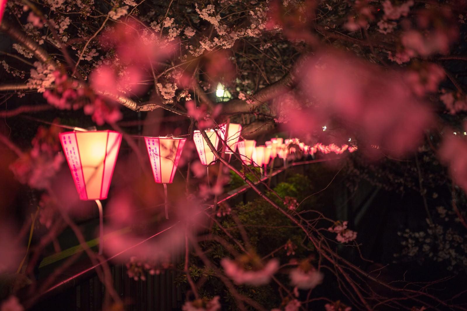「目黒川の夜桜と提灯」の写真