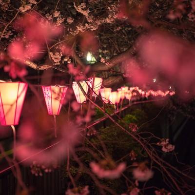目黒川の夜桜と提灯の写真