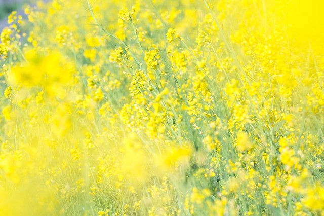 満開の菜の花畑の写真