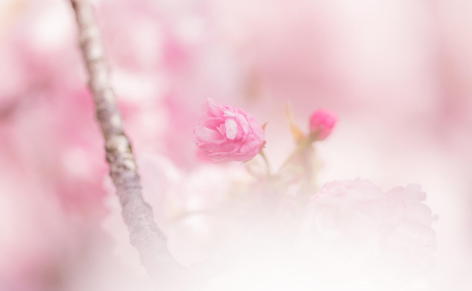 「咲き始めた桜」の写真