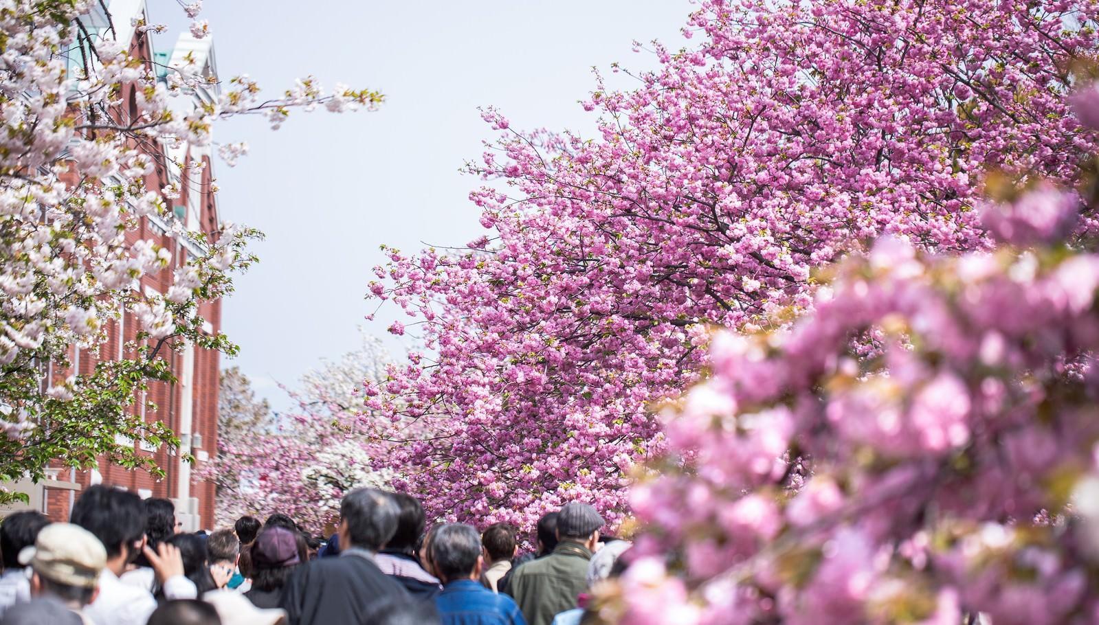「造幣局桜の通り抜け | 写真の無料素材・フリー素材 - ぱくたそ」の写真