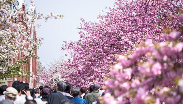 造幣局桜の通り抜けの写真