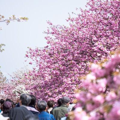 「造幣局桜の通り抜け」の写真素材