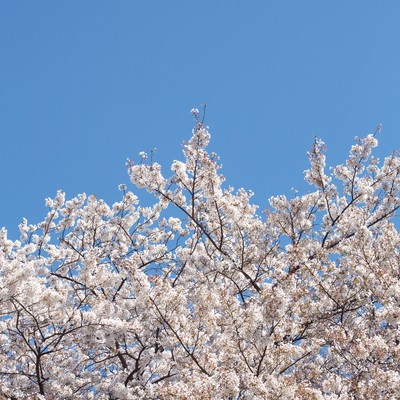 「桜の花と青空」の写真素材