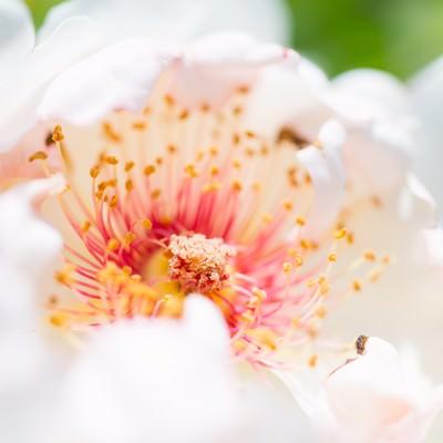 「白い花と花弁」の写真素材
