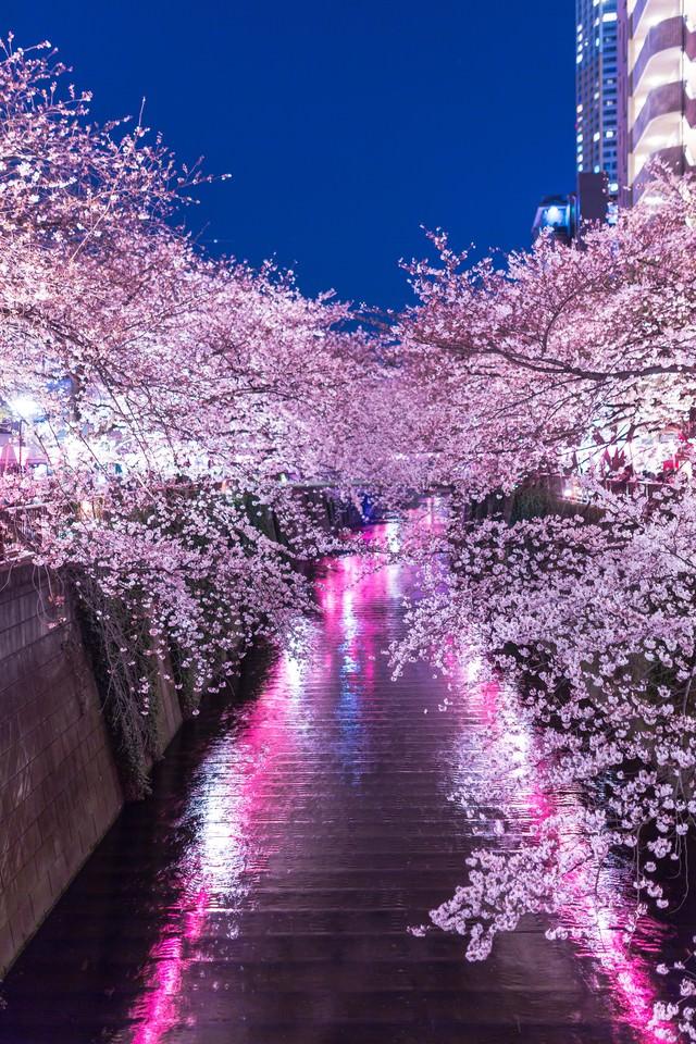提灯の反射と目黒川満開の夜桜の写真