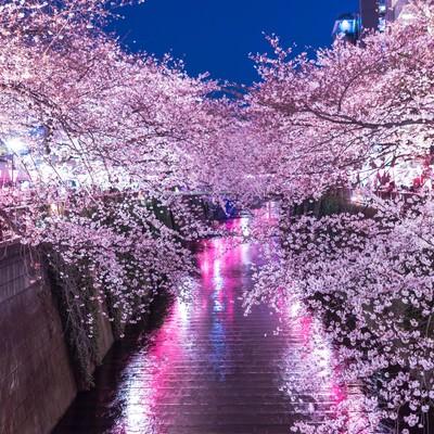 「提灯の反射と目黒川満開の夜桜」の写真素材