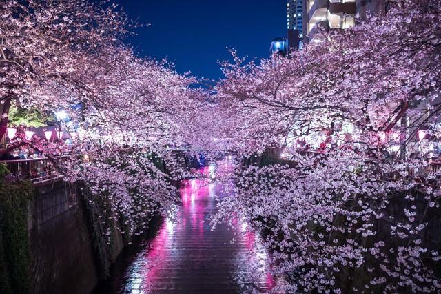 満開の夜桜(目黒川)の写真