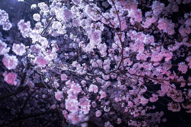 ライトアップされた夜桜の写真