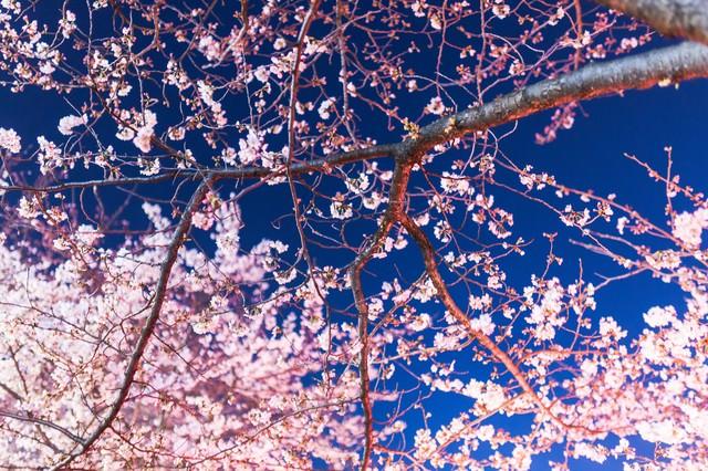 見上げた夜桜の写真
