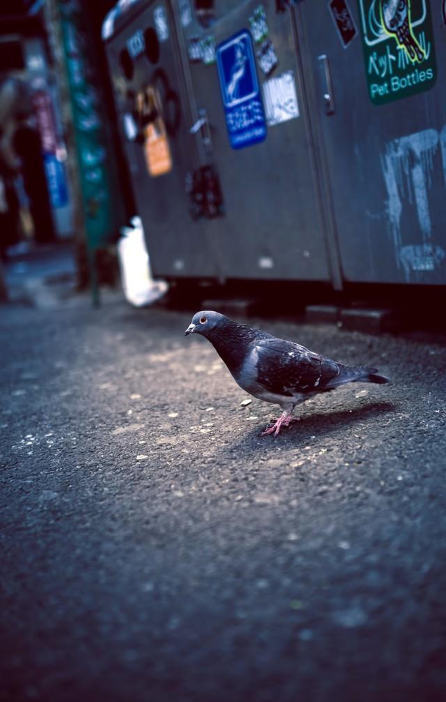 渋谷のゴミ捨て場前のハトの写真