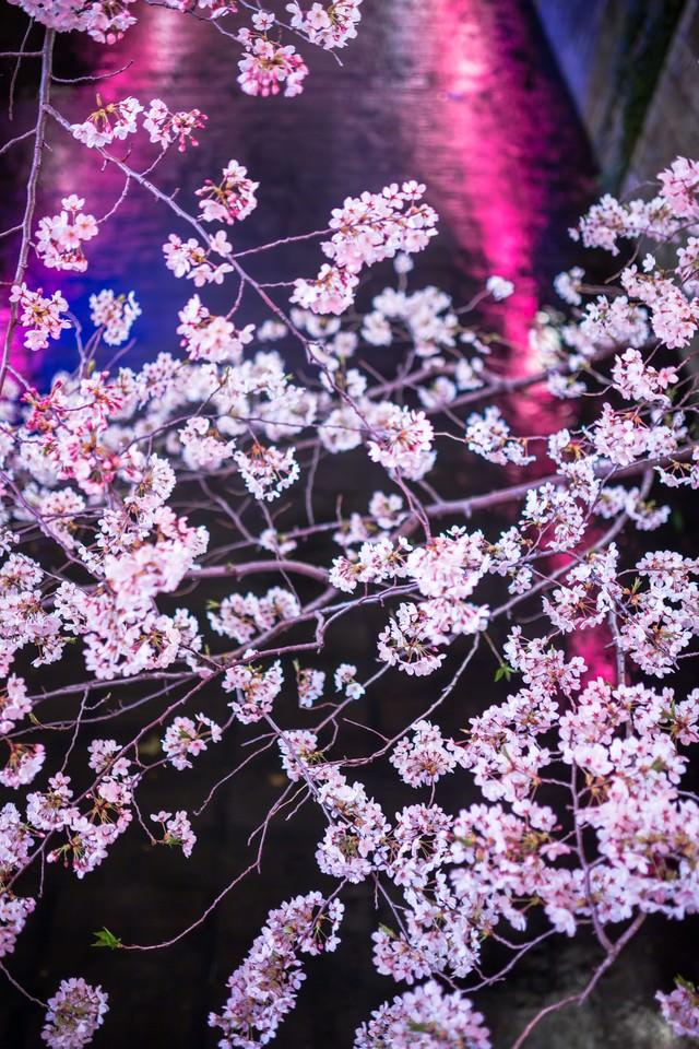 川に反射した提灯と満開の夜桜の写真